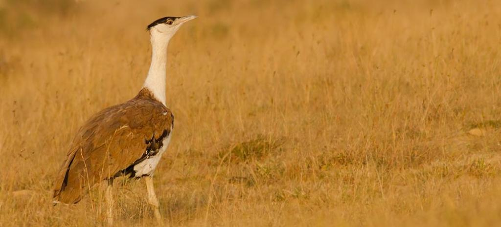 A Great Indian Bustard in Naliya, Kutch. Photo: Wikimedia Commons