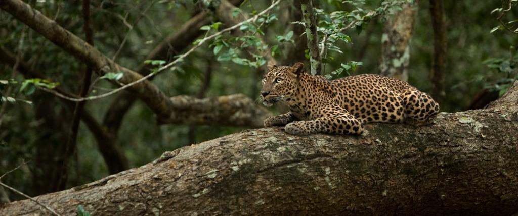 A leopardess. Photo: Wikimedia Commons