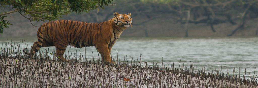 A tiger near a creek in the Sundarbans. Credit: Wikimedia Commons
