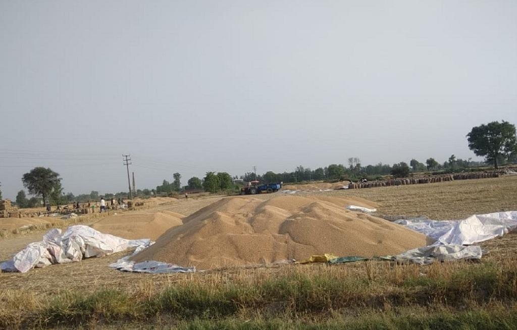 हरियाणा की मोहना मंडी में क्षमता से अधिक गेहूं आने के कारण खेतों में ढेर लगा दिए गए हैं। Photo Credit : Rajender Panchal