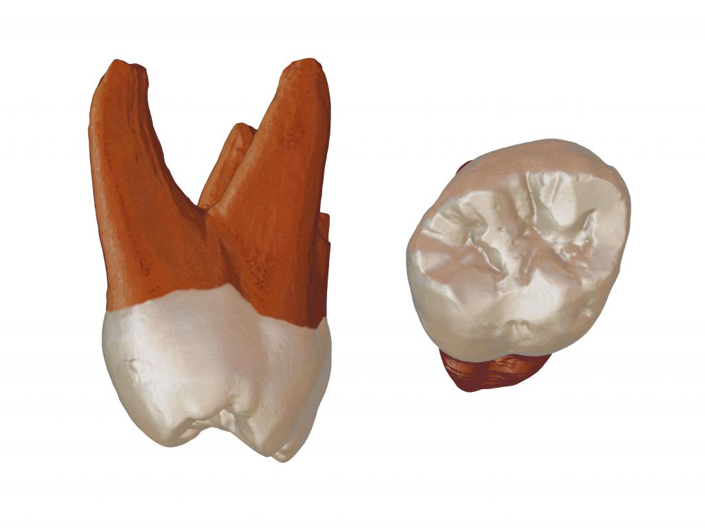 A 3D recreation of a recently discovered Neanderthal tooth. Joshua Lindal / Author provided