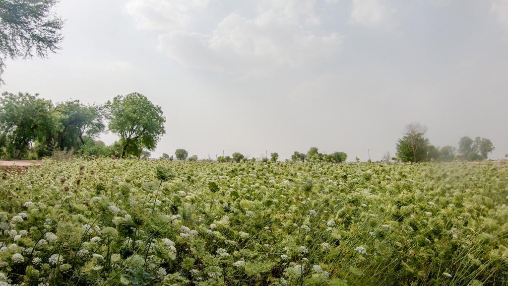 जौन्ती गांव के राज सिंह ने गाजर का बाजार भाव गिरने के बाद खेत से गाजर नहीं उखाड़ी। अब भी उनके खेत में गाजर की फसल खड़ी है। फोटो: मिथुन विजयन