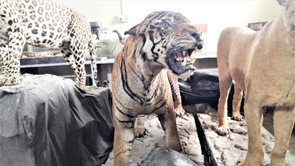 Shiva, a tiger who died of old age at the Sanjay Gandhi National  Park in Mumbai was recreated in full grandeur, and looks menacing even in death. It will be part of the new display to be set up once the Centre is constructed.