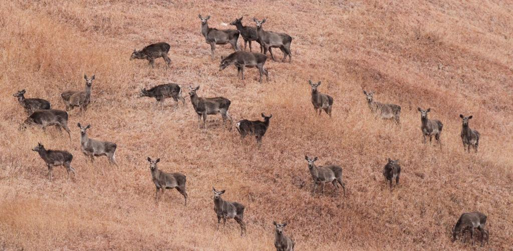 A herd of Hangul in Kashmir's Dachigam National Park. Image: Wikimedia Commons