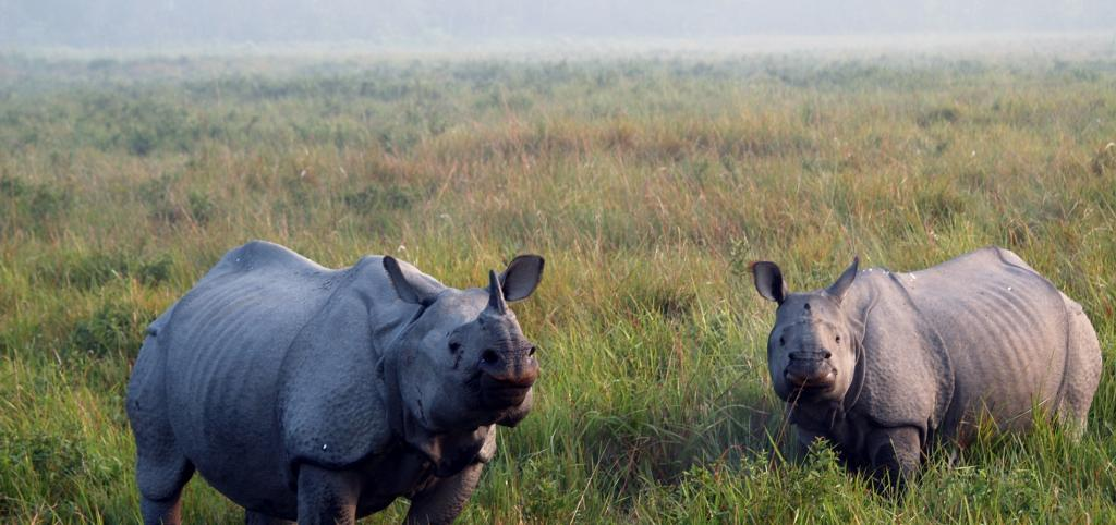 A pair of rhinos at the Kaziranga National Park. Photo: Getty Images
