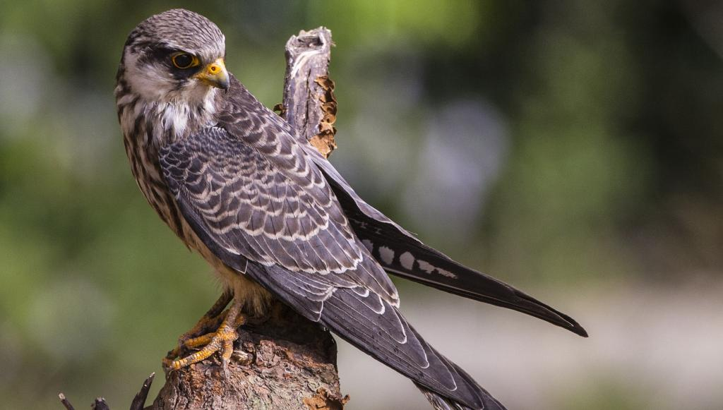 A female Amur Falcon. Photo: Getty Images