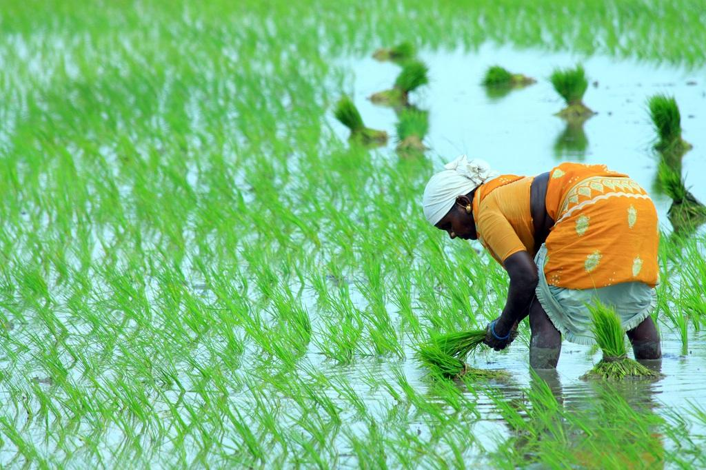 Paddy fields. Photo: Getty Images