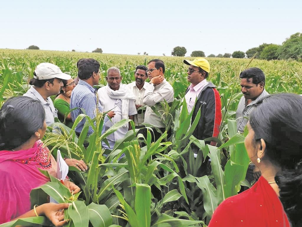 तेलंगाना में मक्के की फसल पर लगे फॉल आर्मीवर्म की पड़ताल करते कृषि वैज्ञानिक। फाइल फोटो : जिंका नागाराजू