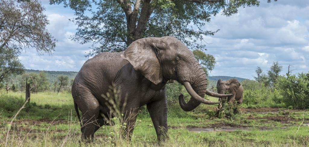 African Bush Elephants in the Kruger National Park in South Africa. Photo: Getty Images