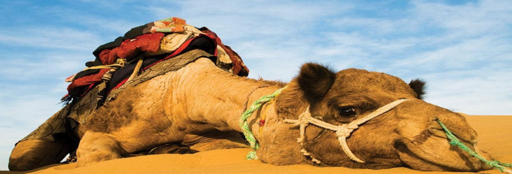 Can monetising camel products revive Rajasthan's state animal? Photo: DTE
