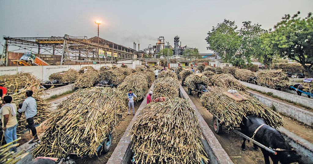 Timing of harvest is critical as sugarcane begins to rot after one day. So farmers are forced to sell at throwaway prices or simply throw it away (Photo: Midhun Vijayan)
