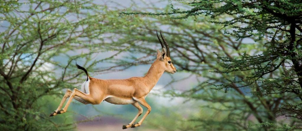 A jumping Chinkara. Photo: Creative Commons