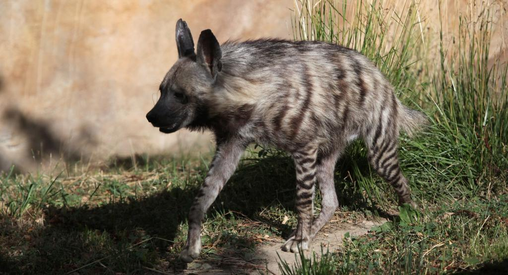 A Striped Hyena. Photo: Getty Images