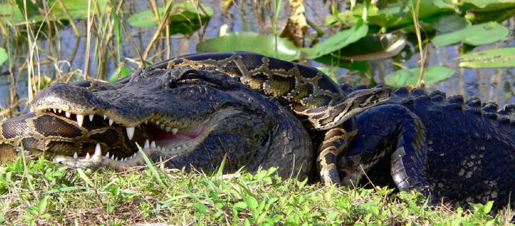 A Burmese Python wrestles with an American Alligator in Florida, where the serpent is an invasive species. Photo: Wikimedia Commons