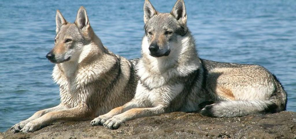 A pair of wolf-dog hybrids. Photo: Creative Commons