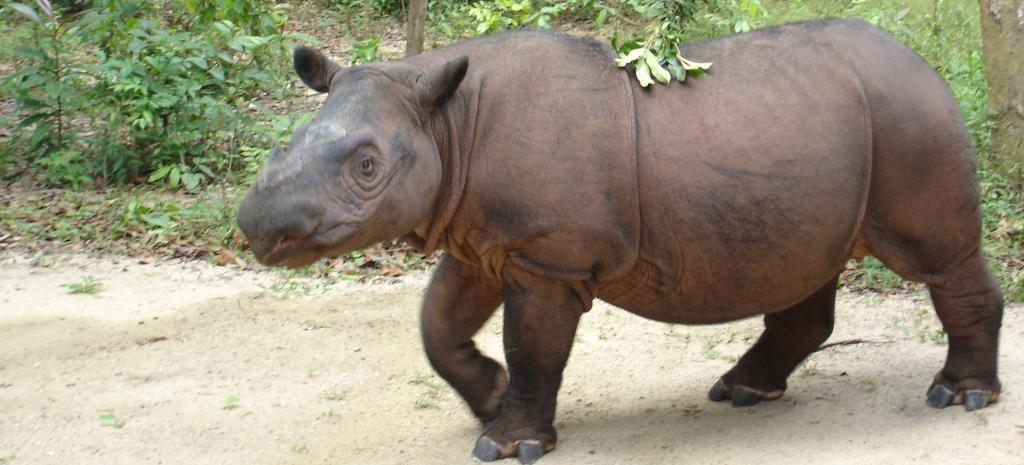 A Sumatran Rhino. Photo: Creative Commons