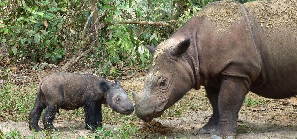A four-day-old Sumatran rhino calf with its mother. Photo: Wikimedia Commons