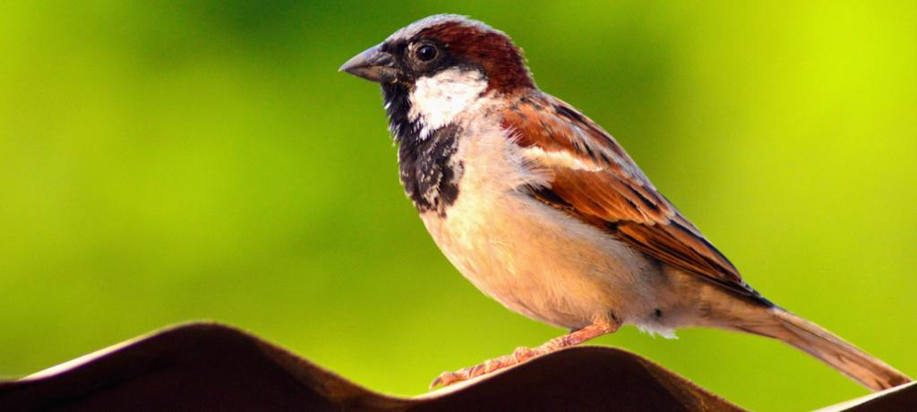 A male House Sparrow in Satara, Maharashtra. Photo: Getty Images