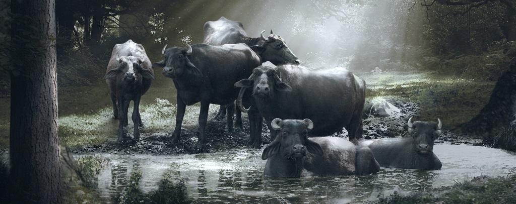 A failed salvation policy on the not-so-holy buffalo