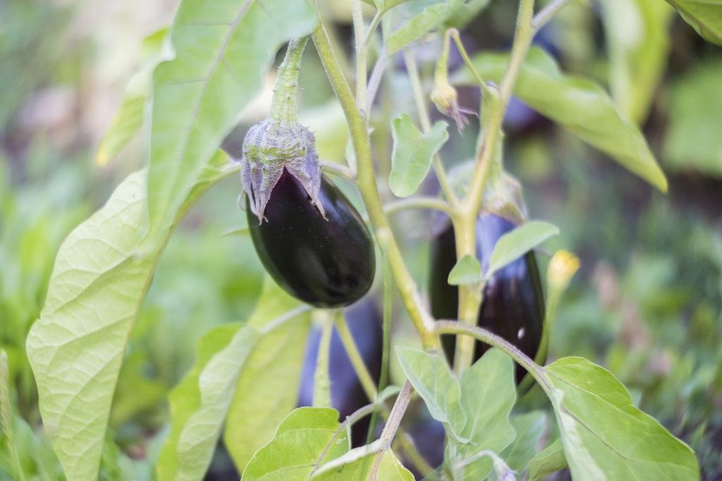 BT Brinjal: Activists slam regulatory body for inaction against illegal cultivations Photo: Getty Images