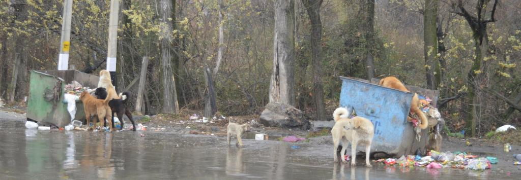 Stray dogs at a garbage dump in Srinagar. Photo: Athar Parvaiz