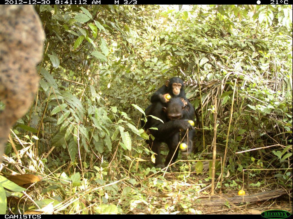 Camera trap image of adult female chimpanzee with her offspring in fallow area in Moyamba district of Sierra Leone foraging on oranges. Photo: Tacugama Chimpanzee Sanctuary