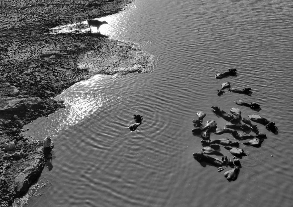 Residents from Rajkot's Boriya village bathe their cattle in the shallow water of the river. Photo: Vikas Choudhary