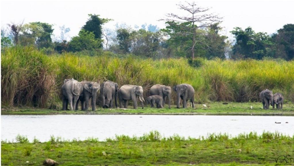 Kaziranga elephants. Photo: Varun R Goswami