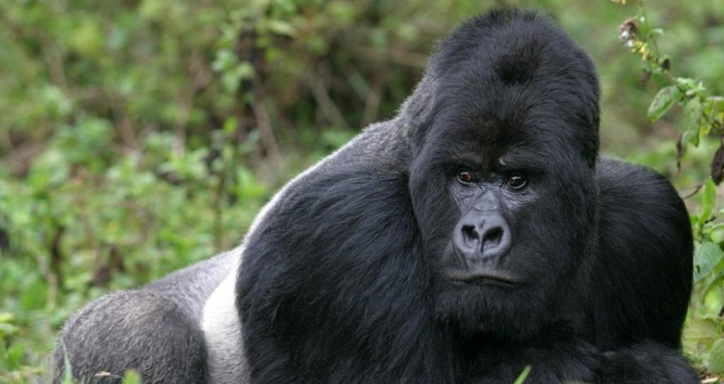 A mighty silverback in Rwanda's Virunga mountains. Photo: Getty Images