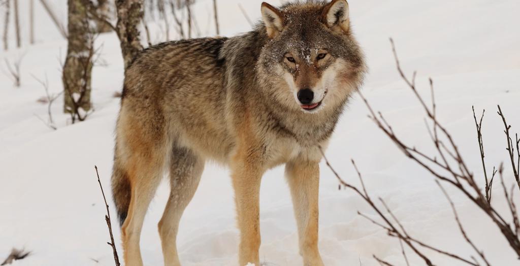 A grey wolf. Photo: Wikimedia Commons