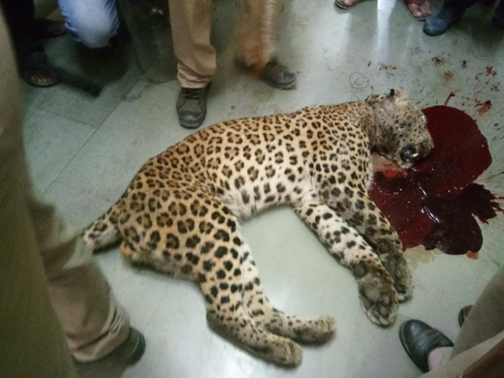 उत्तराखंड में एक गुलदार को गोली मार दी गई। फोटो: पंकज मंडोली