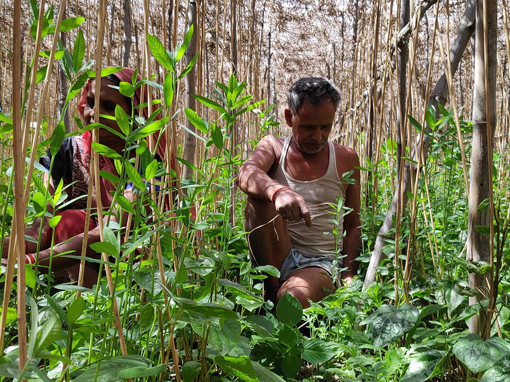 संतोष चौरसिया पिछले दो दशक से पान की खेती कर रहे हैं। अब वह सामूहिक बरेजा करते हैं। रेलवे स्टेशन के पास  स्थित बरेजा में उन्होंने इस साल पान की 29 पारियां ही लगाई हैं