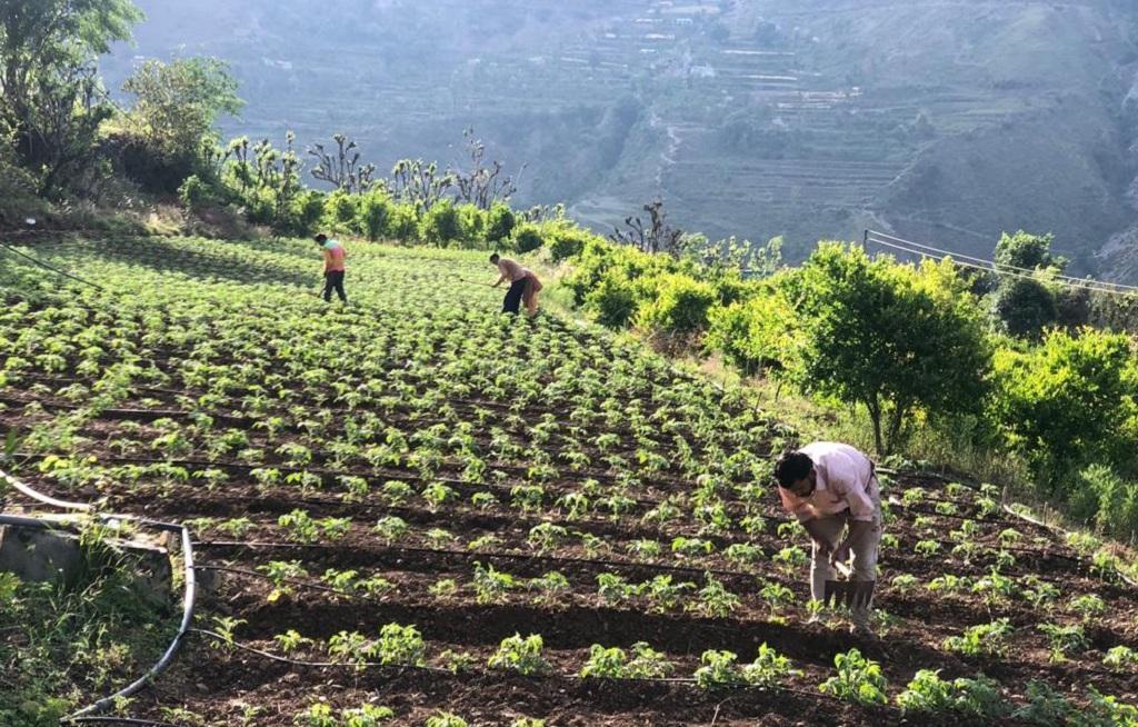 देहरादून के त्यूणी तहसील के अटाल गांव में इस तरह खेती कर रहे हैं आधुनिक किसान प्रेम चंद। फोटो: वर्षा सिंह