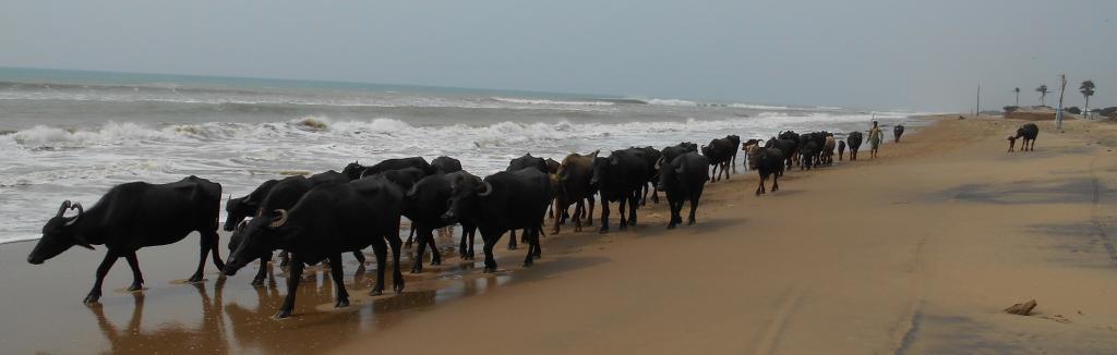 Buffaloes in Satabhaya. Photo: Pragati Prava