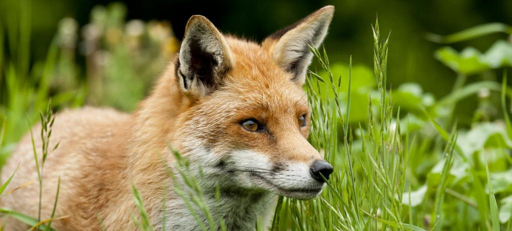 A Red Fox. Photo: Getty Images