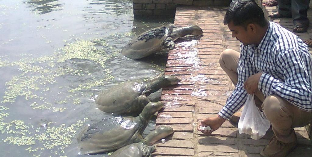A group of turtles being fed cottage cheese in the pond at Panki, Kanpur. Photo: Rohit Ghosh