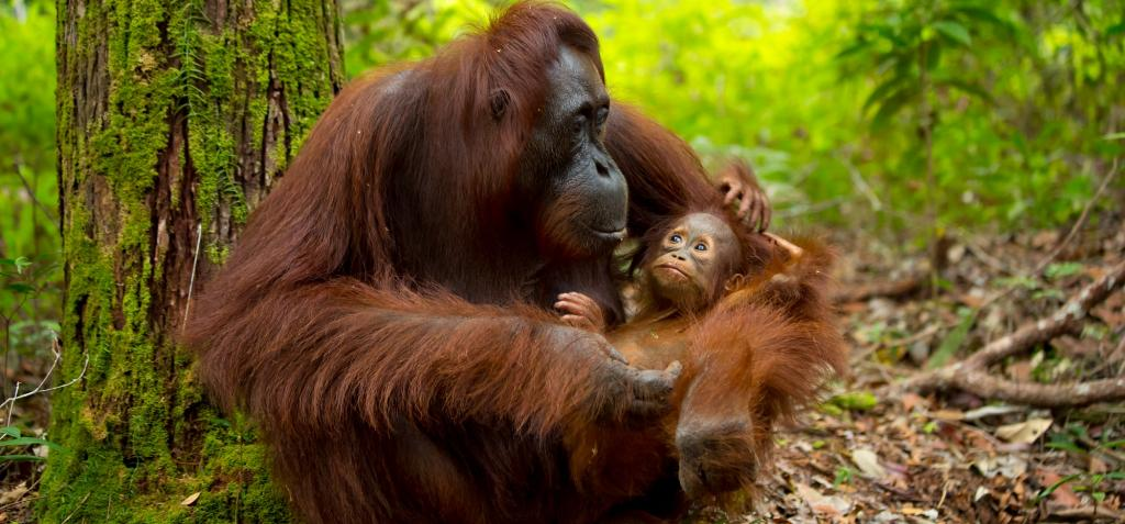 The WWF has been accused of promoting palm oil production, which is destroying forests in Southeast Asia and endangering orangutans like this baby and its mother in Borneo. Photo: Getty Images