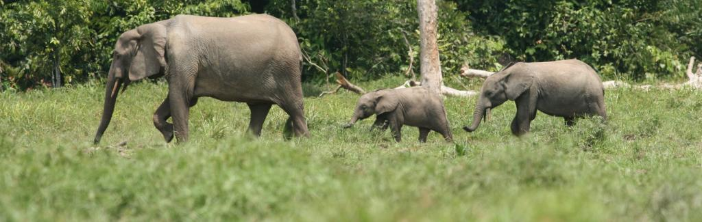 Forest elephants are our allies in the fight against climate change, finds research.