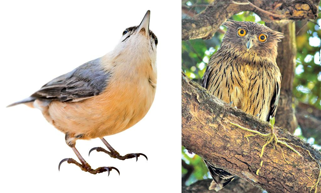 The Beautiful nuthatch is an internationally threatened species (left) The Brown Fish Owl feeds, roosts and breeds in mature trees in sacred groves(right)