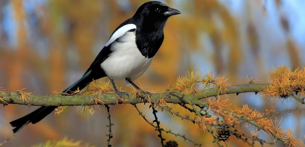 A Eurasian magpie.Photo: Getty Images