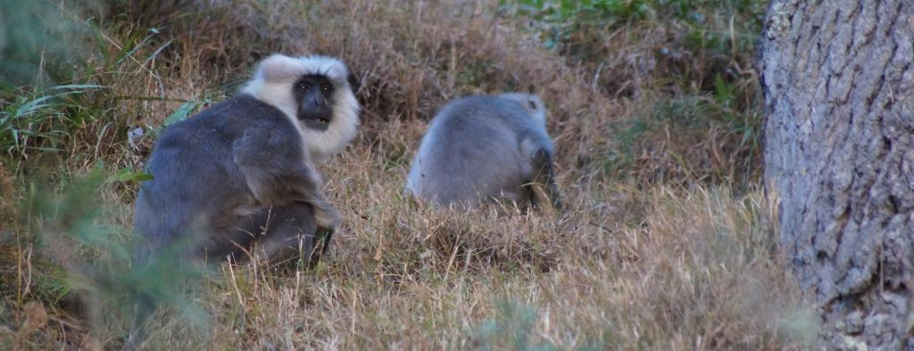 Two Himalayan Grey Langurs. Photo: Vikram Singh