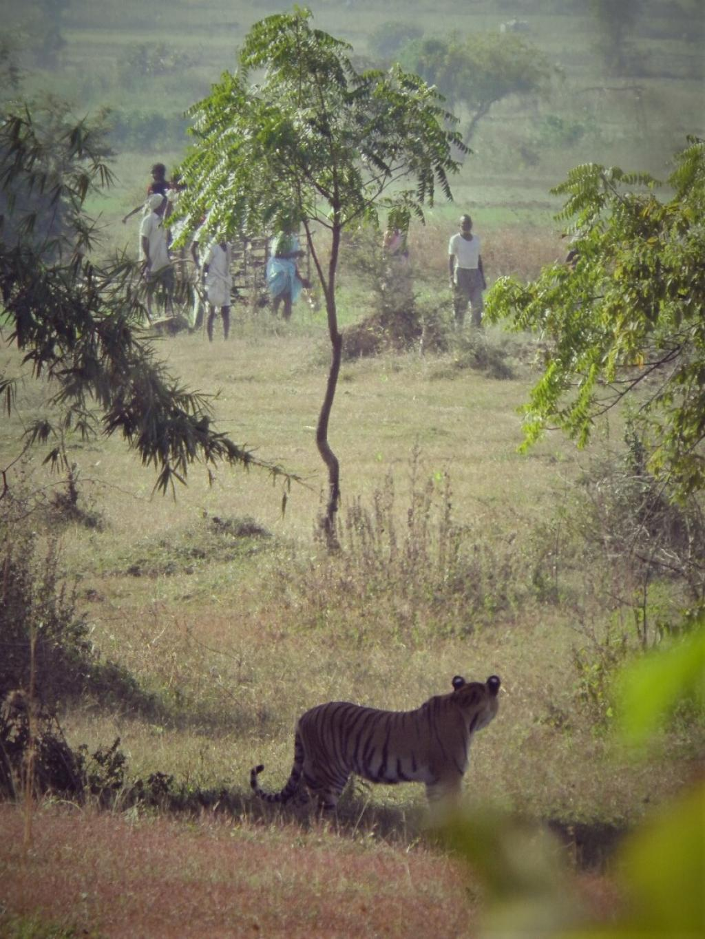 A tiger and people stare at each other in Maharashtra's Tadoba-Andhari Tiger Reserve. Photo: Abhijeet Sanjay Bayani