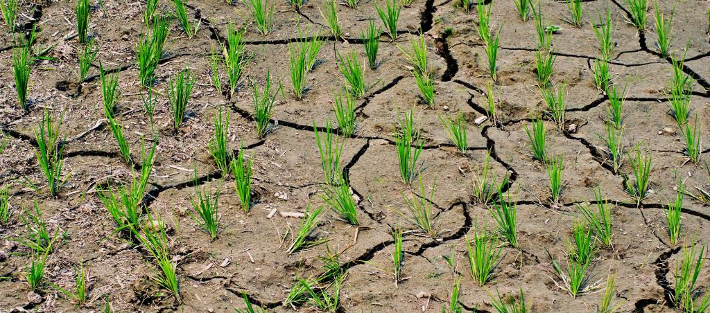 A dried paddy field. Forty-six per cent of India is suffering from drought according to latest data. Photo: Getty Images