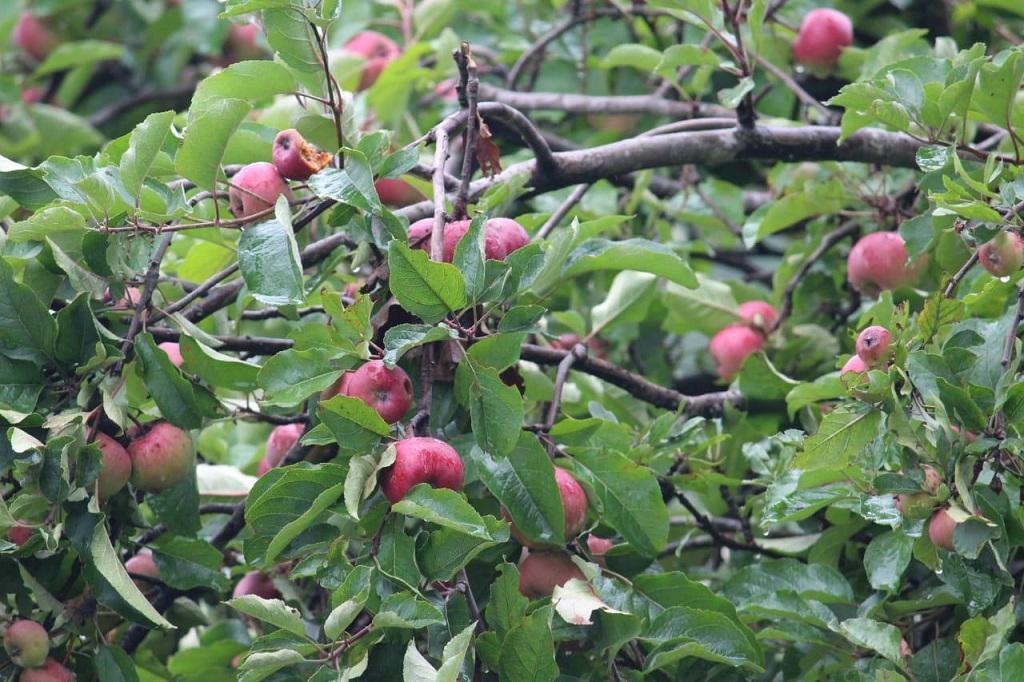 उत्तराखंड में पेड़ों पर लगे सेब। फोटो: मनमीत सिंह