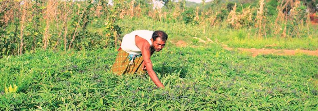 A man from the Bonda tribe amid a field full of tuber crops in <i>dangar</i> patches on a hillock in Odisha's Malkangiri district. Photo: OPELIP