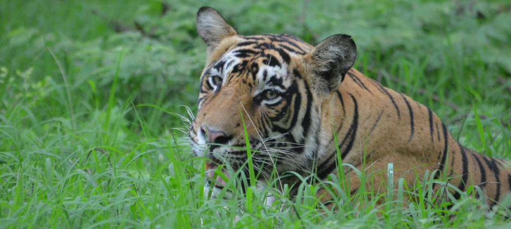 Spotting tigers in the wild is a difficult task. Photo: Author provided