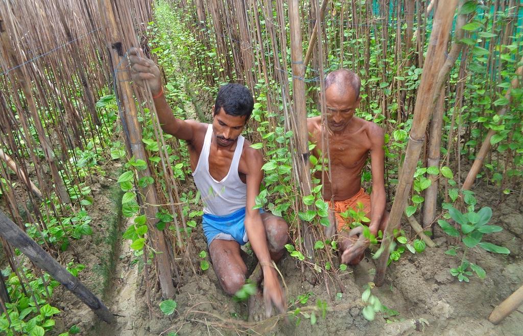 बिहार के नवादा जिले में पान की खेती करते किसान। फोटो: उमेश कुमार राय