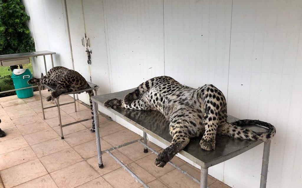 उत्तराखंड के हरिद्वार रेंज में मारे गए गुलदार। फोटो: वर्षा सिंह