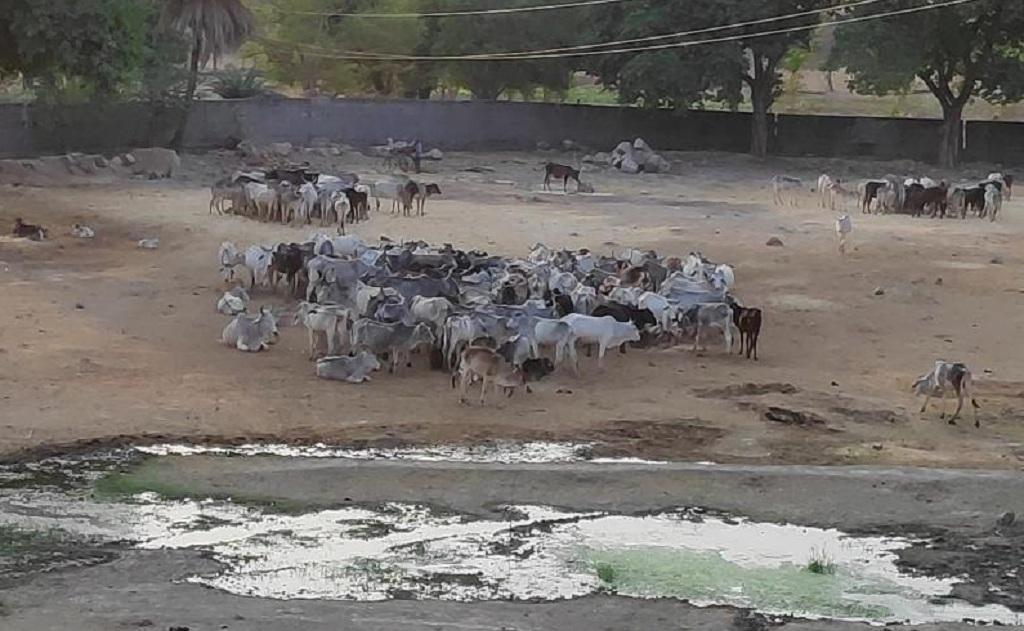 उत्तर प्रदेश में महोबा जिले के कबरई ब्लॉक में स्थित एक गोशाला। फोटो : भागीरथ