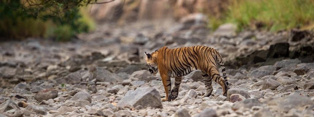 A tiger near Ramganga river in Jim Corbett National Park. Photo: Getty Images